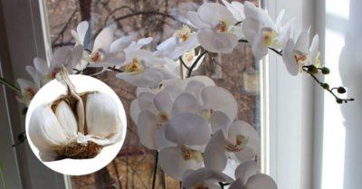 Чеснок спасение для орхидей! Через месяц мой фаленопсис выпустил несколько