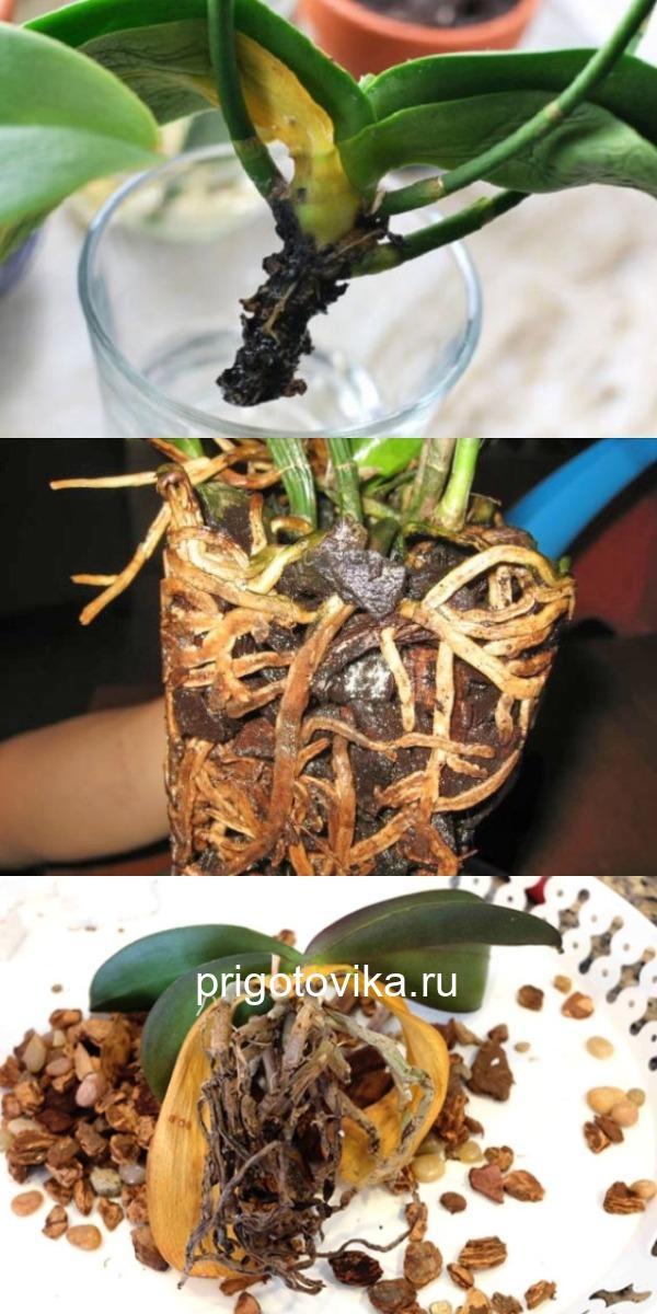 Простой совет, как реанимировать орхидею, если сгнили даже корни