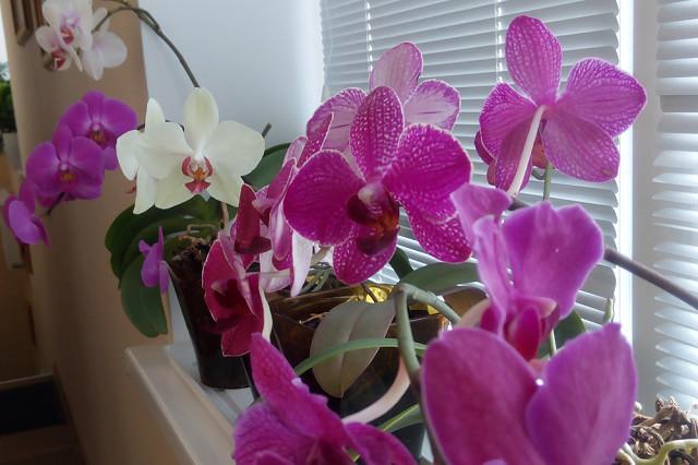 Перекись водорода — лучшее удобрение для орхидей